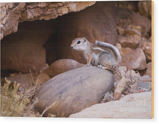 White-tailed Antelope Squirrel Wood Print