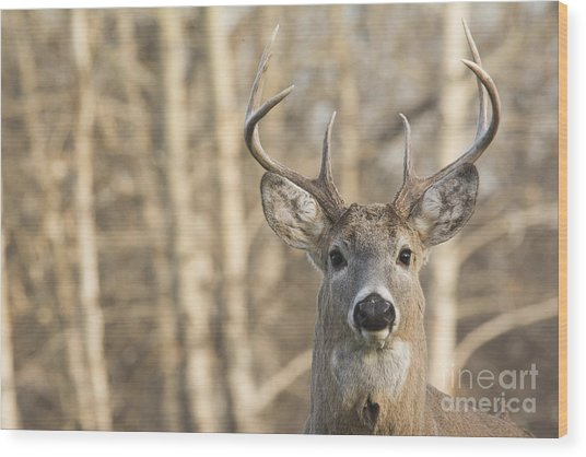 White-tailed Buck Wood Print