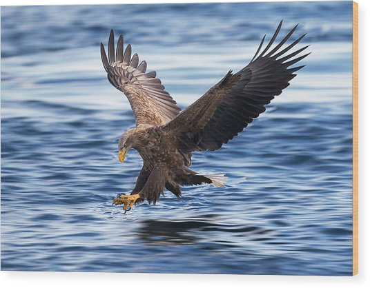 White-tailed Eagle Wood Print