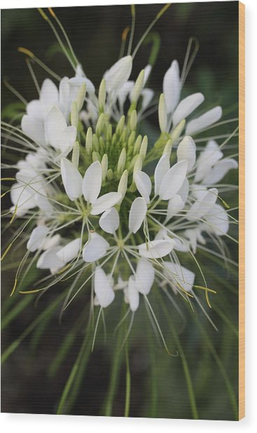 White Tenderness Wood Print by Christiane Schulze Art And Photography