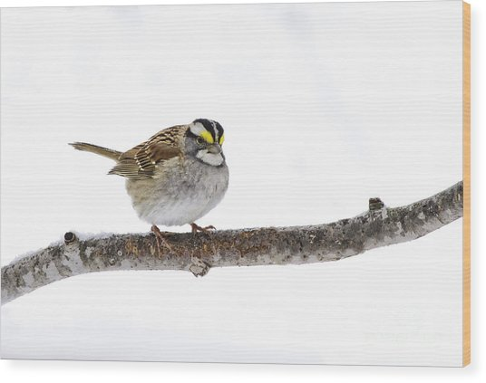 White-throated Sparrow Wood Print