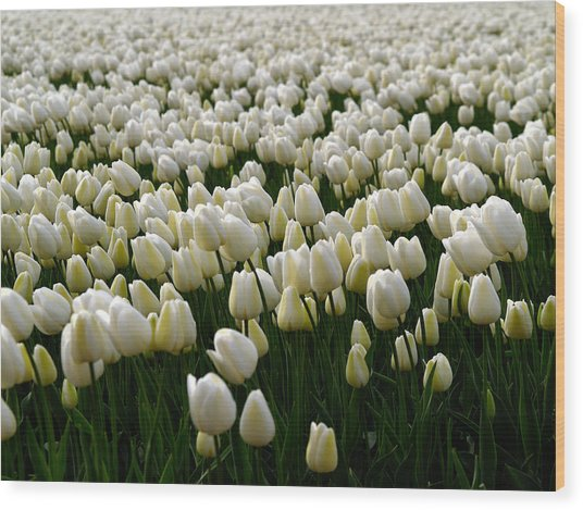 Wood Print featuring the photograph White Tulip Field  by Luc Van de Steeg