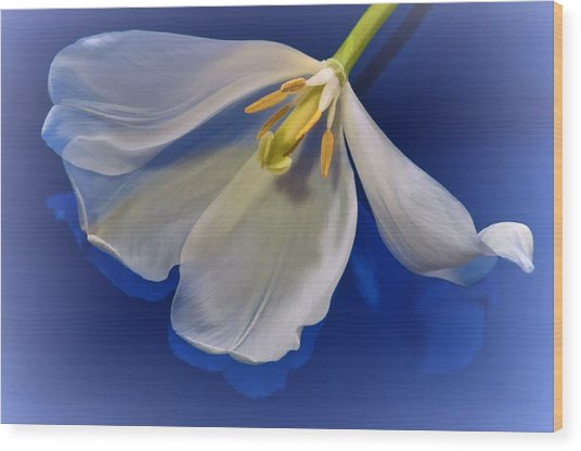 White Tulip On Blue Wood Print