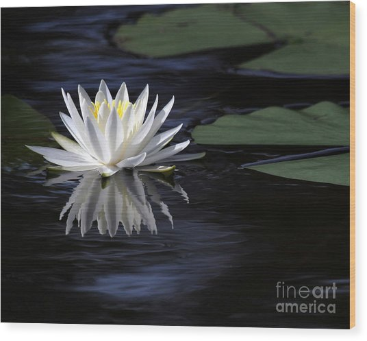 White Water Lily Left Wood Print