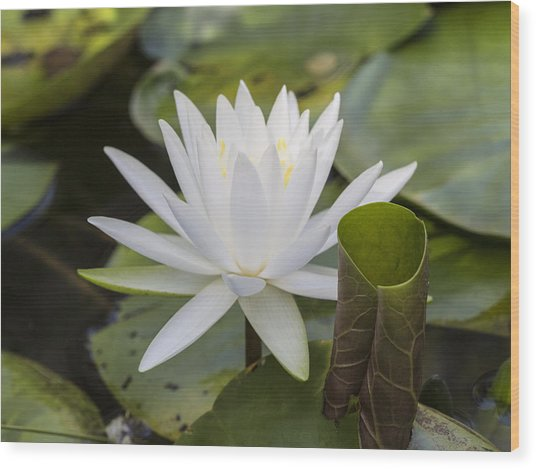 White Water Lily With Curiously Scrolled Leaf Wood Print