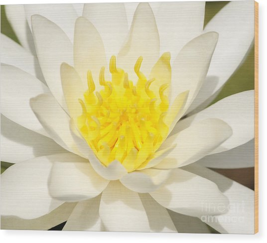 White Waterlily Wood Print