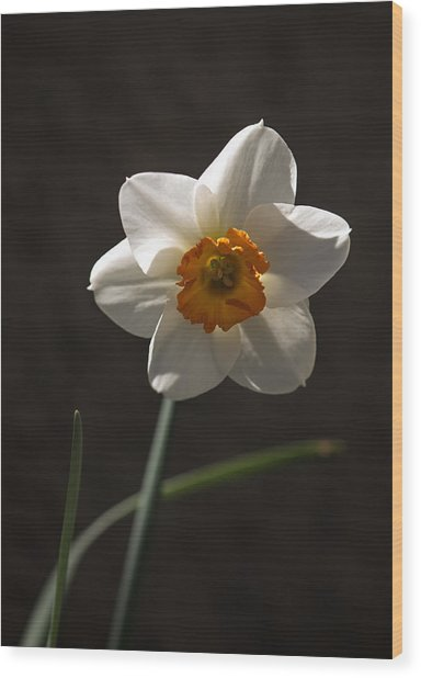White Yellow Daffodil Wood Print