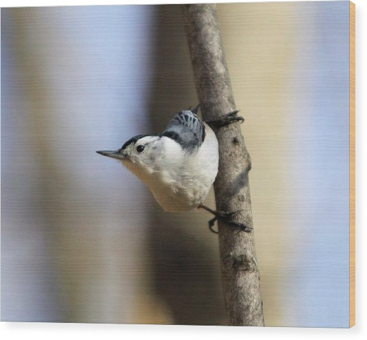Whitebreasted Nuthatch Wood Print