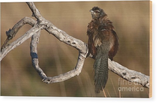Whitebrowed Coucal Wood Print