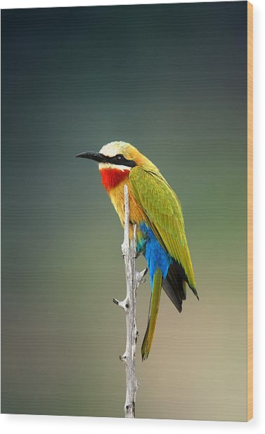 Whitefronted Bee-eater Wood Print