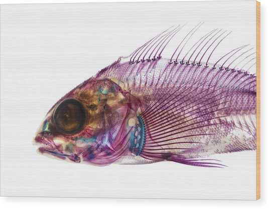 Whitespotted Greenling Wood Print by Adam Summers