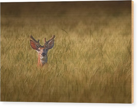 Whitetail Deer In Wheat Field Wood Print