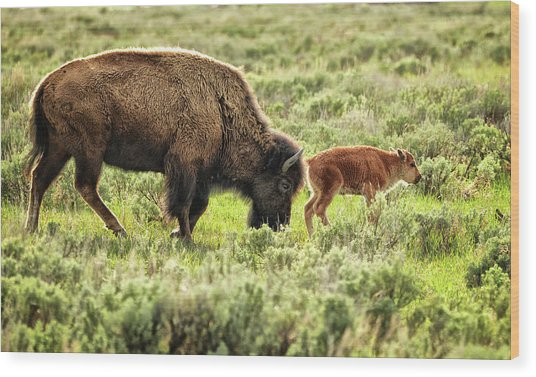 Wild Bison Cow And Calf Wood Print by Jeff R Clow