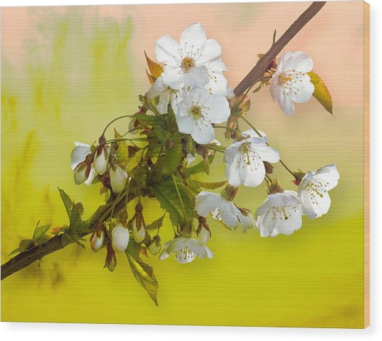 Wild Cherry Blossom Cluster Wood Print