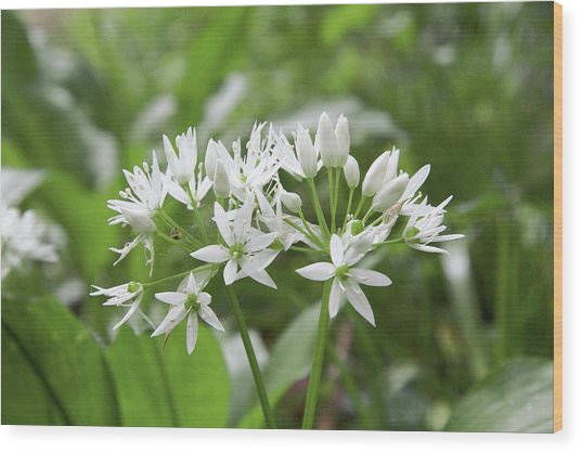 Wild Garlic (allium Ursinum) Wood Print by Chris Dawe/science Photo Library