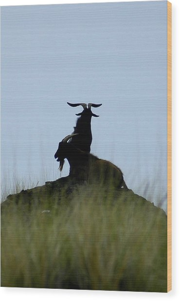 Wild Goats Of Kona Wood Print