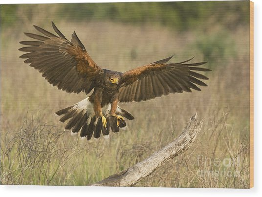 Wild Harris Hawk Landing Wood Print