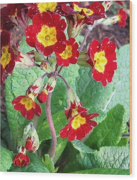 Wood Print featuring the photograph Wild Primroses by Deb Martin-Webster