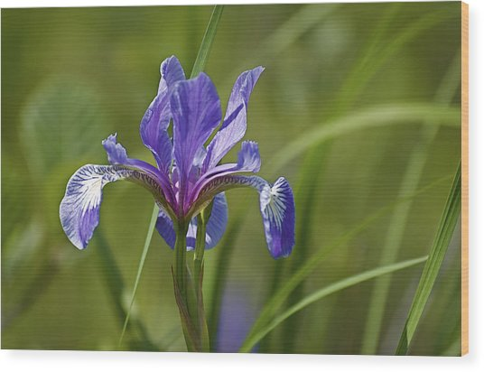Wild Purple Iris 1 Wood Print