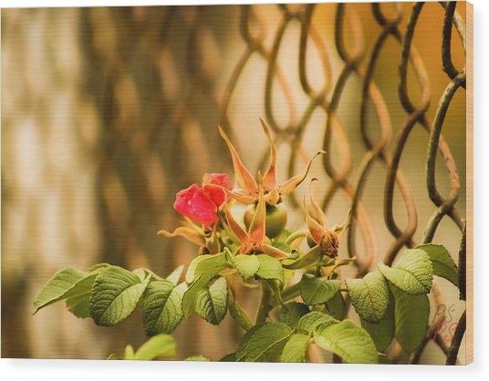 Wild Rose  Wood Print by Paulina Szajek