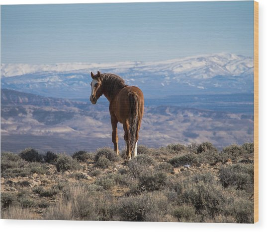 Wild Stallion Of Sand Wash Basin Wood Print