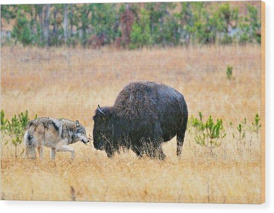 Wild Wolf Hunts Bison Wood Print
