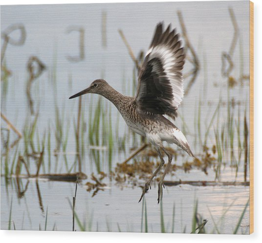 Willet Taking Flight Wood Print