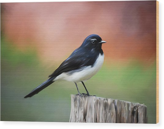 Willy Wagtail Austalian Bird Painting Wood Print