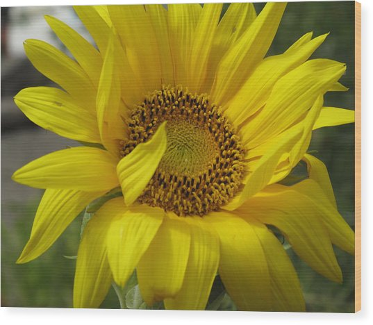 Windblown Sunflower Three Wood Print