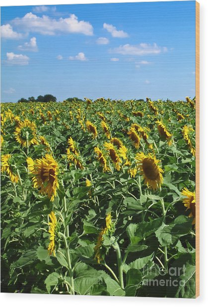 Windblown Sunflowers Wood Print