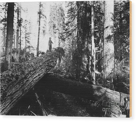 Windfall For Loggers 1908 Wood Print