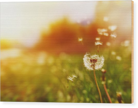 Windy Dandelion In Spring Time Wood Print by Stock_colors