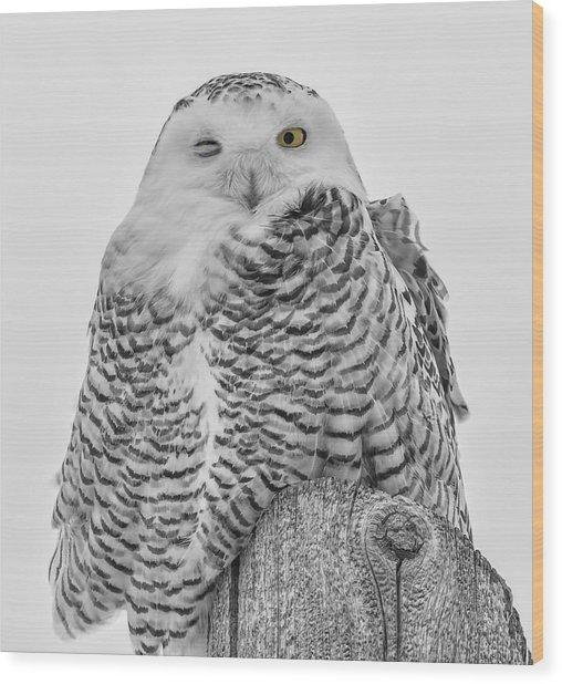 Winking Snowy Owl Black And White Wood Print