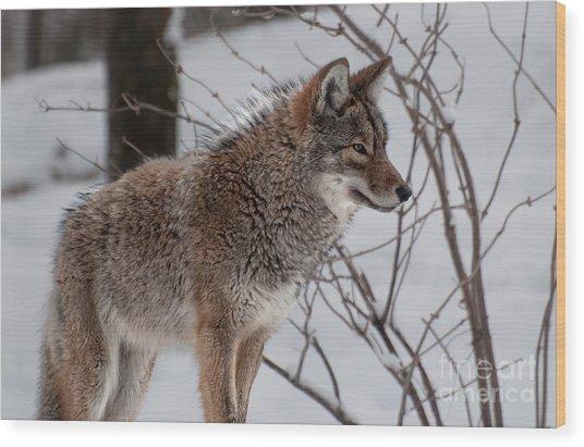 Winter Coyote Wood Print