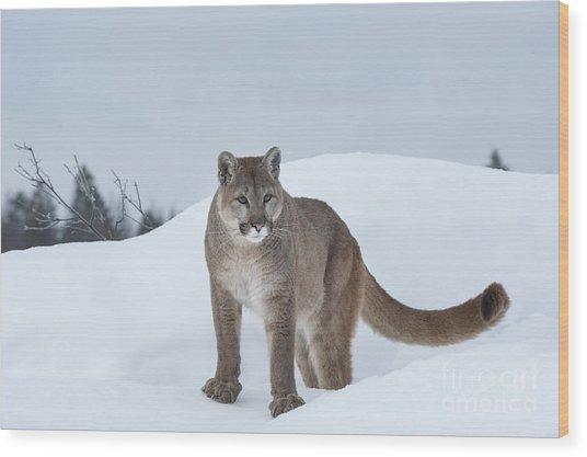 Winter Mountain Lion  Wood Print