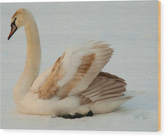 Winter Swan Song Wood Print