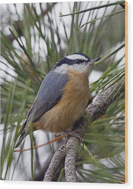 Winter Visitor - Red Breasted Nuthatch Wood Print