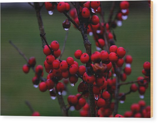 Winterberry Bush After The Rain Number 1 Wood Print