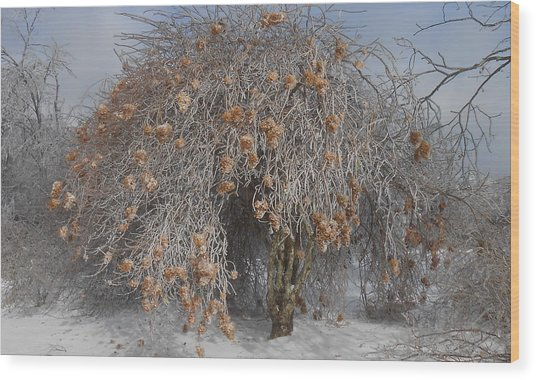 Wintertime Snowball Bush Tree Wood Print