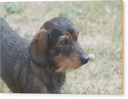Wire Haired Daschund Wood Print