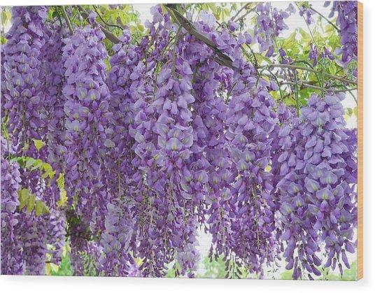 Wisteria Full Bloom Wood Print