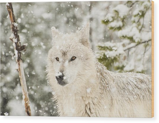 Wolf In Snow Wood Print