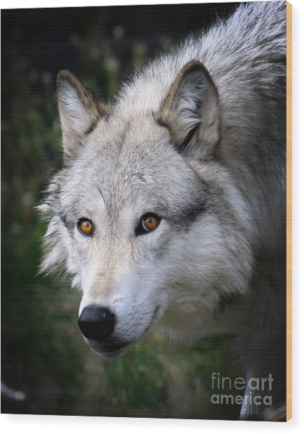 Wolf Stare Wood Print