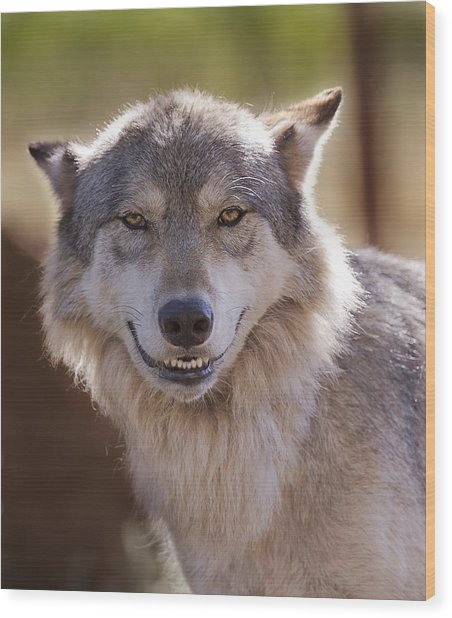 Wolf's Smile  Wood Print