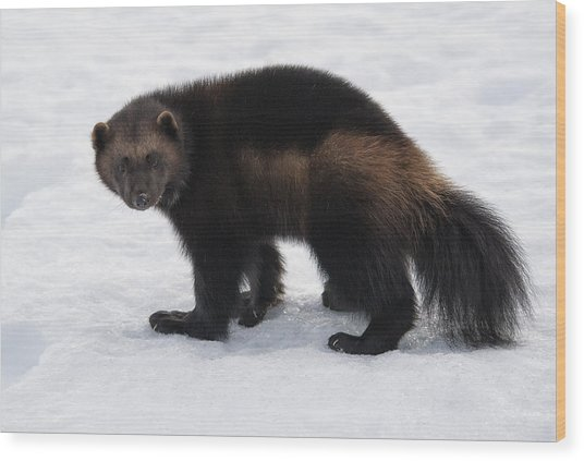 Wolverine On Snow Wood Print