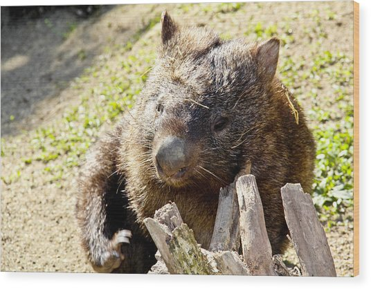 Wood Print featuring the photograph Wombat Scratching by Debbie Cundy
