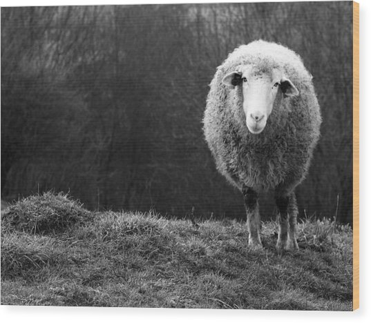 Wondering Sheep Wood Print