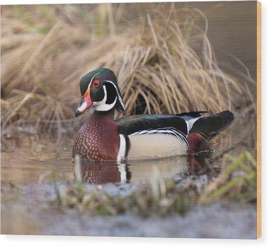 Wood Duck Drake Pose Wood Print