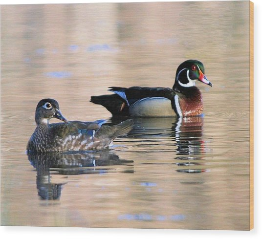 Wood Duck Pair In Kettles Wood Print
