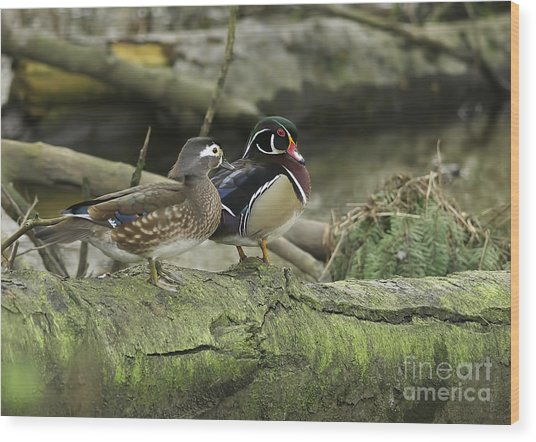 Wood Ducks On Log 4 Wood Print by Sharon Talson